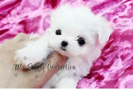Teacup Maltese Puppies For Sale London Secondhand Pictures to pin on      Black Teacup Maltese Puppies