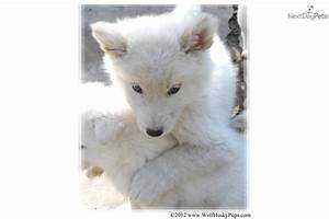 The gallery for --> White Wolf Dog Hybrid Puppies
