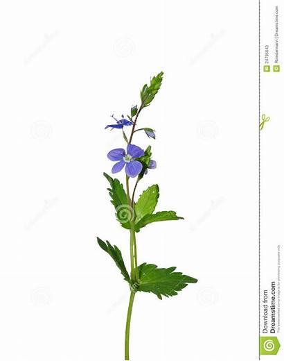 Veronica Chamaedrys Germander Speedwell Clipart Clipground Isolated