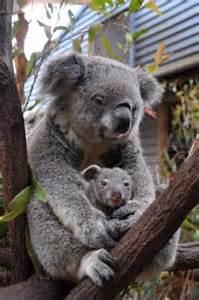 Mom and Baby Koala Bears