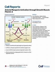 (PDF) Arterial Myogenic Activation through Smooth Muscle ...