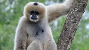 Una nuova specie di gibbone 'imperiale', ma è già estinto Repubblica it