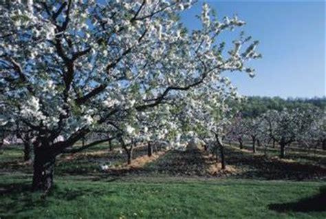 month   peach tree bloom home guides sf gate