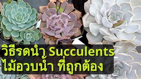 วิธีรดน้ำไม้อวบน้ำ Succulents รดยังไงไม่ให้ตาย - YouTube
