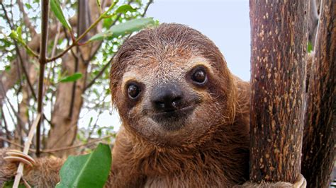 Sloth Images Sloth Facts Three Toed Sloths Brown Throated Sloth