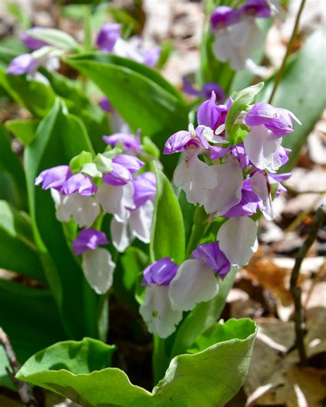 Showy orchis Archives - HIKEscape