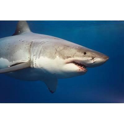 Fantastica Animal: Great White Shark