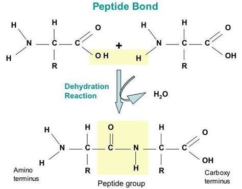 image gallery dipeptide synthesis