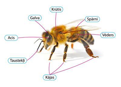 Dzīvo būtņu ķermeņa daļas — teorija. Dabaszinības pēc ...