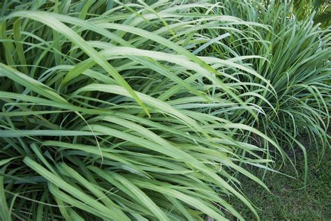 plante anti moustique exterieur plante r 233 pulsive anti moustiques lesquelles choisir