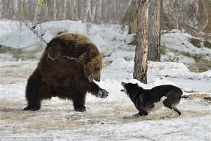 Dramatic Pictures Show A Chained Bear Attacked By Dogs In ...