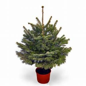 3ft Real Christmas Potted Fraser Fir