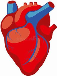 Human Heart Stock Vector  Illustration Of Background