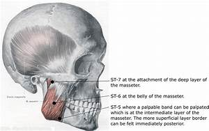 Anatomy Of The Sinew Channels  The Masseter And Pterygoids