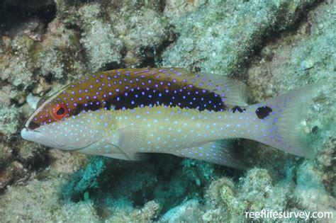 variola juvenile stuart rick smith reeflifesurvey tail sea