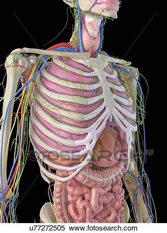This course is about anatomy of the most of it is under cover of the lower ribs and left costalread more… important questions on. Human ribcage and organs, artwork Stock Illustration ...