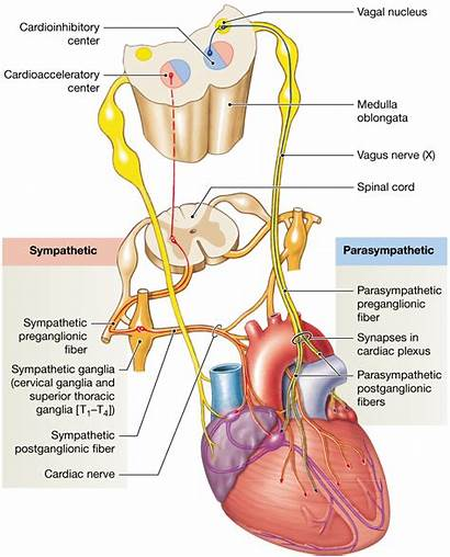 Nerve Vagus Heart Cardiac Rate Output Plexus
