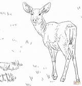 Deer Coloring Pages Mule Female Printable Tailed Tail Drawing Super Supercoloring Popular Coloringhome sketch template