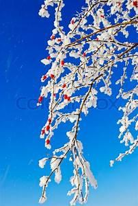 Sträucher Mit Weißen Beeren : birch b ume str ucher zweige rote fr chte der wilden rose in den wei en schnee bedeckt ~ Whattoseeinmadrid.com Haus und Dekorationen