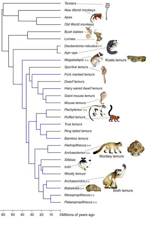 lemur family tree shake  extinct  living lemurs