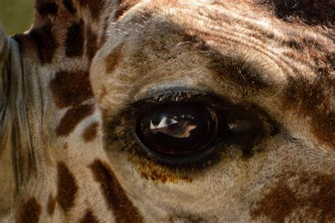 Giraffe Look Into My Eye Photograph By Thomas Woolworth