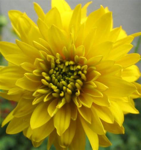 Yellow perennial flower identification names mightylinksfo