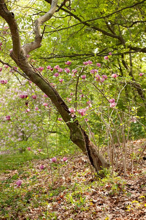 magnolia archives plant talk