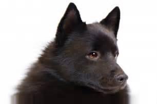 schipperke dog breed information american kennel club