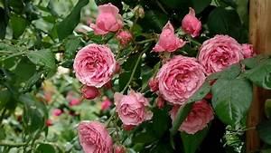 Pomponella Rose  Bred By Ordes  U0026 Sons  W