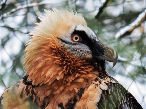 raptor bird related keywords suggestions for raptor bird