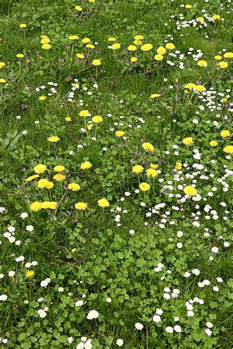 pelouse comment se d 233 barrasser des mauvaises herbes d 233 tente jardin