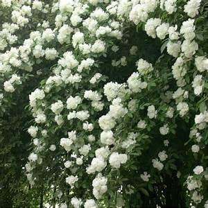 Rosier Grimpant Blanc : rosa banksiae alba plena rosier liane sans pines blanc ~ Premium-room.com Idées de Décoration