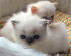 himalayan cat pictures picture clip pictures himalayan kittens