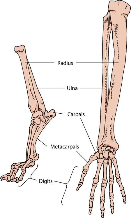 dog  horse skeleton google search anatomy dog