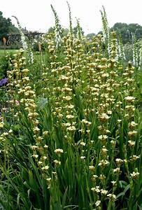 sisyrinchium planter et cultiver ooreka With modeles de rocailles jardin 7 achillee planter et cultiver ooreka