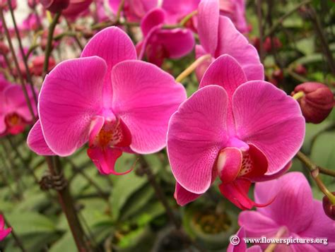 orchids flowers pictures orchid pictures pictures of orchid flowers