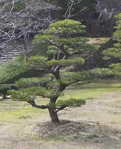 Arbre En Nuage : vente d 39 arbres japonais vente de niwaki p pini re niwaki p pini re arbre en nuage niwaki ~ Melissatoandfro.com Idées de Décoration