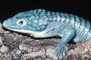 Alligator Lizard Photograph by Dante Fenolio