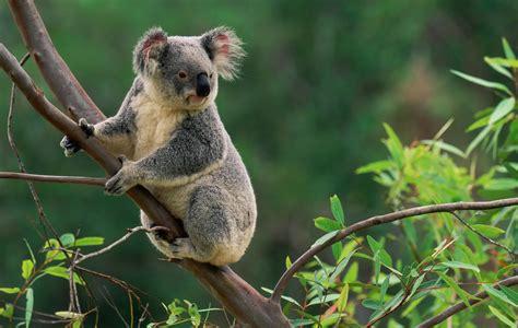 stunning close encounters  animals koala