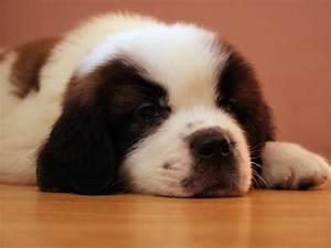 Saint Bernard Dog HD Wallpapers, Saint Bernard Dogs Full ...