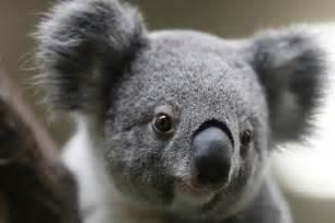 コアラ:画像 : 謎だった「コアラが木に ...