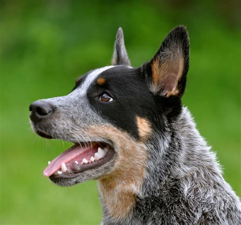 Australian Cattle Dog Breed Information Pictures More