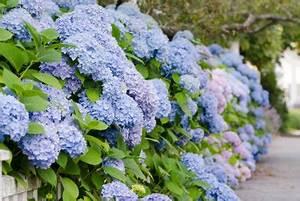 Hortensien Schneiden Video : hortensien schneiden im herbst das sollten sie beachten ~ Lizthompson.info Haus und Dekorationen