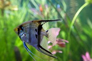 Agreeably Intriguing Facts About Angelfish