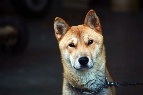 korean dog breeds    pop dogs  korea