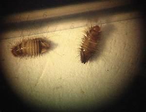 Ungeziefer Wohnung Kleine Braune Käfer : ungeziefer in der wohnung hilfe larven ~ Lizthompson.info Haus und Dekorationen