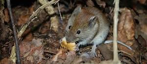Comment Tuer Un Rat : comment tuer un rat dans une maison fabulous rsultat de ~ Mglfilm.com Idées de Décoration