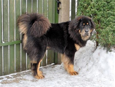 Ķīniešu ģimenei suņa vietā pārdod lāci - Spoki
