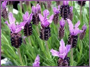 Plant De Lavande : lavandula stoechas spanish lavender the sense taste ~ Nature-et-papiers.com Idées de Décoration