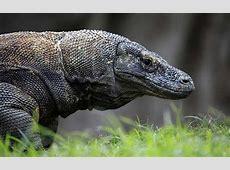 Dragón de Komodo Información y Características